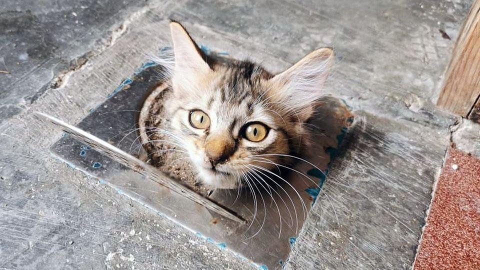 Im Abfluss stecken geblieben: Süßes Kätzchen guckt aus dem Boden