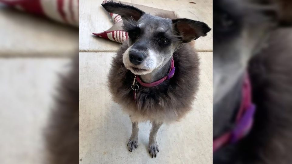 Wie ein Schaf: Hundehaarschnitt geht fürchterlich schief