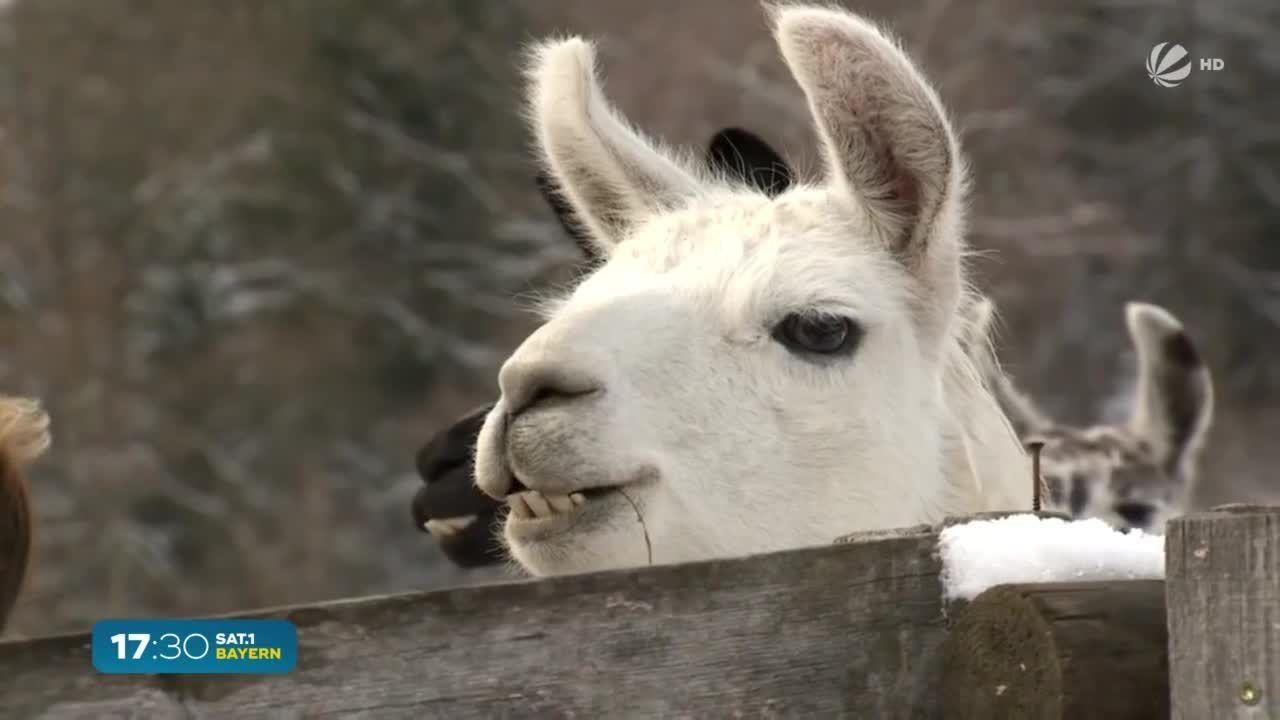 Weder Lama noch Alpaka: Diese Ur-Form lebt jetzt in Bayern
